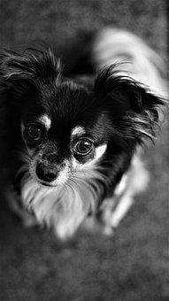 Background, Black And White, Chihuahua, Dog, Small