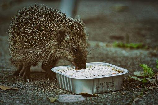 Hedgehog Child, Food, Small, Cute, Animal, Spur, Brown