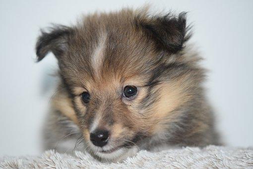 Dog, Dog Shetland Sheepdog, Dog Pure Breed, Female