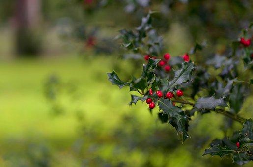 Holly, Christmas Holly, Ilex, Red, Evergreen, Winter