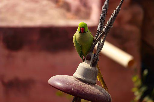 Parrot, Outdoor, Angry Bird, Bird, Wildlife, Nature