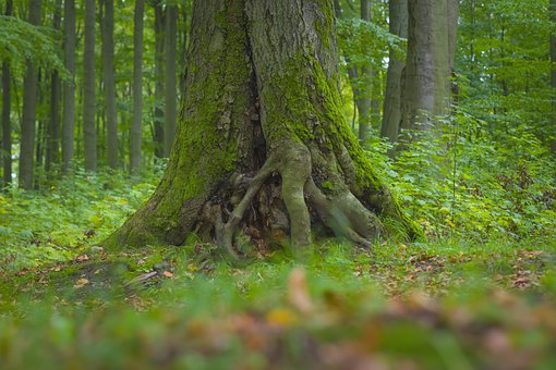 Forest, Trunk, Mossy, Green, Moss, Nature, Wood, Tree