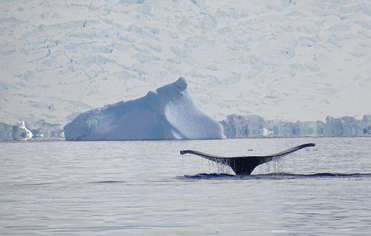 Whale, Antarctica, Sea, Nature, Humpback, Whales, Snow