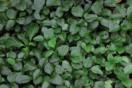 Spinach, Seeds, Plant, Nature, Green, Agriculture