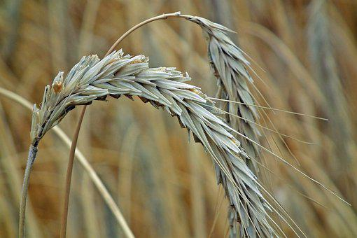 Corn, Ears, Rye, Agriculture, Harvest, Field, Summer