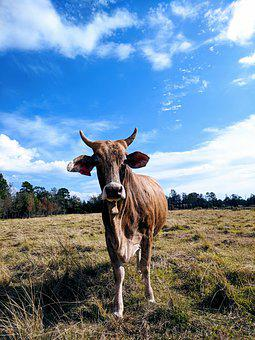 Cow, Pasture, Horns, Brahman, Brown Cow, Cow Horns