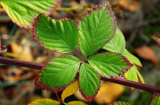 Foliage, Autumn, Blackberry Bezkolcowa, Nature, Plant
