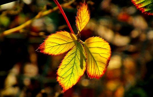 Leaf, Blackberry Bezkolcowa, Garden, Closeup, Nature