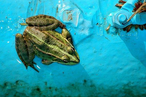 Frog, Amphibian, Animal, Green, Nature, Rana Esculenta