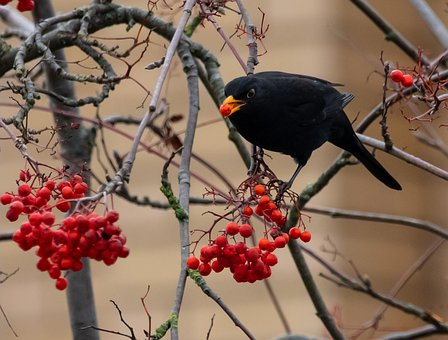 Blackbird, Male, Eating, Berries, Perched, Red
