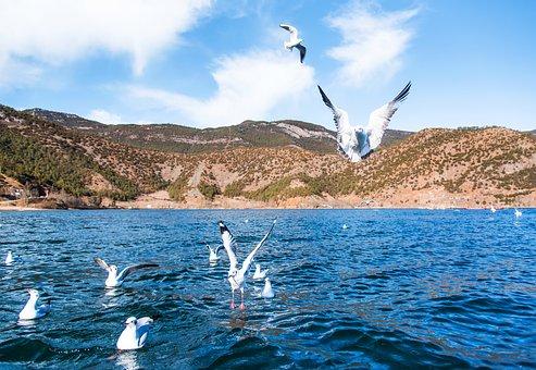Lugu Lake, China, Bird, Seagull, In Yunnan Province