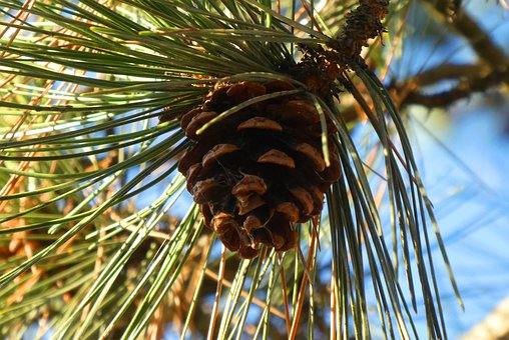 Pinecone, Fruit, Tree, Pinecones, Autumn, Zaadkegels