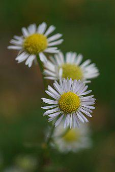 Chamomile, Chamomile Flower, Nature, Naturopathy