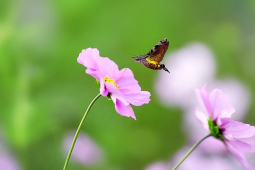 Natural, Insect, Houjaku, Humming‐bird Moth