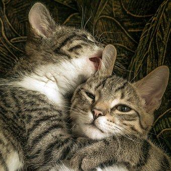 Cat, Two, Friendship, Hug, Small, Mackerel, Kitten