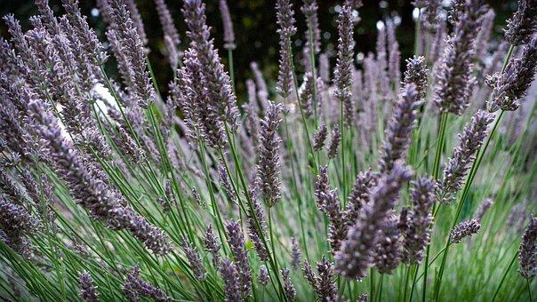 Lavender, Flowers, Nature, Provence, Violet, Purple