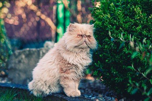 Fluffy Cat, Cat, Kitten, Fluffy, Pet, Animal, Kitty