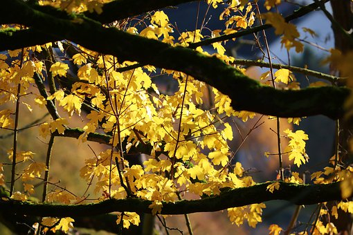 Autumn, Leaves, Yellow, Golden Autumn, Nature, Golden