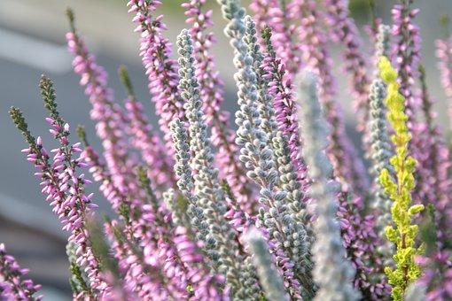 Heide, Flower, Erika, Purple, White, Winter, Bush