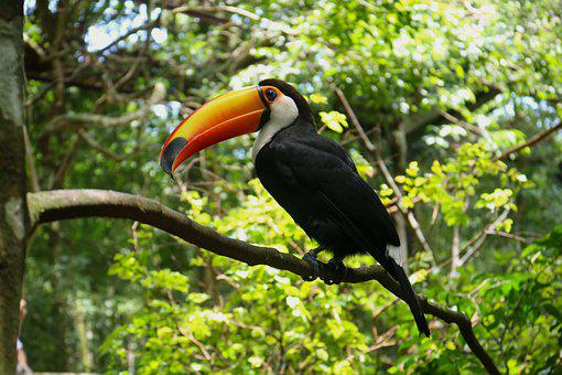 Toucan, Ave, Exotic, Peak, Wild, Fauna, Nature