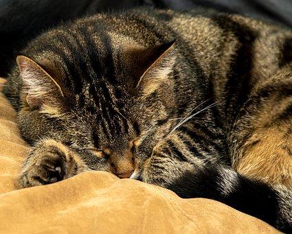 Cat, Domestic, Shorthair, Pet, Furry, Sleeping, Animal