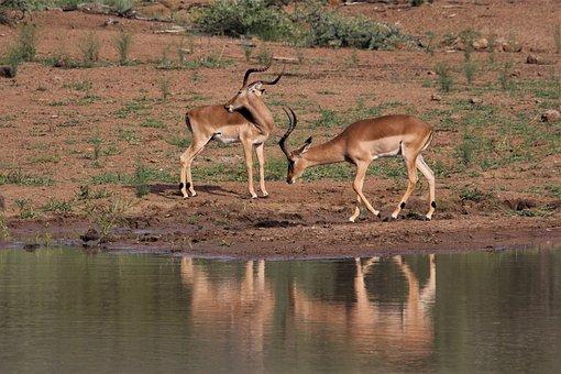Impala, Rams, Waterhole, Long, Horns, Drink, Water