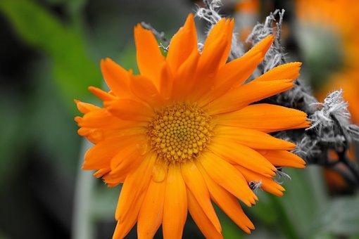 Marigold, Orange, Calendula Suffruticosa
