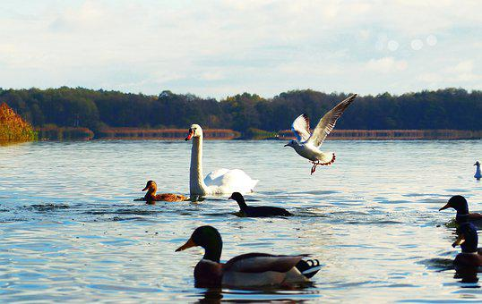 Mute Swan, Tom, Seagull śmieszka, Gets Behind The Food