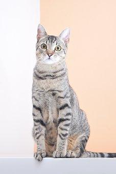 Cat, Pet, Cats, Feline, Veterinary, Animals, Adorable