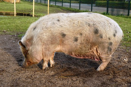 Potbellied Pig, Pig, Breed Of Pig, Mammal, Thick