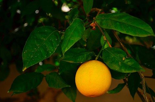 Orange, Fruit, Tree, Plant, Food, Healthy, Vitamins