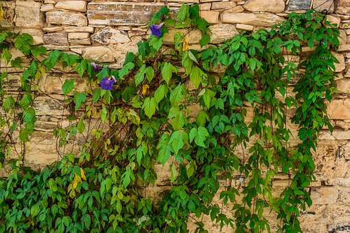 Ivy, Plant, Wall, Climbing Plant