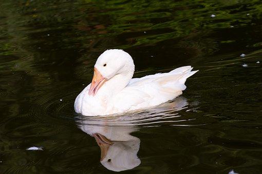 Swan, Lake, White, Bird, Bird Photography, Reflection