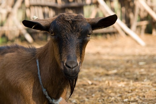 Goat, Animal, Farm, Summer, Life, Brown, Nature, Fence