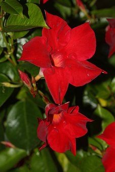 Mandevilla, Funnel Flower, Blossom, Bloom, Red