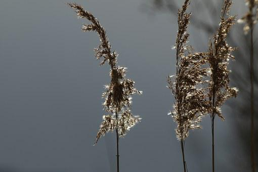 Reed Flower, Blossom, Bloom, Reed, Lake Constance