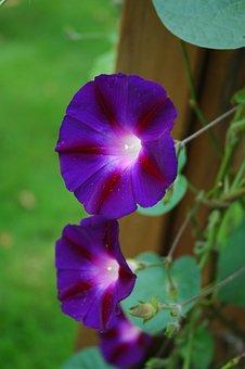 Flower, Blue Wind, Violet, Garden, Blossom, Bloom