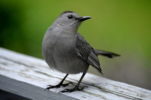 Catbird, Grey Bird, Wildlife, Songbird, Ornithology