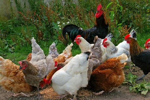 Chickens, Chicken Run, Farm, Feeding, Grains, Food
