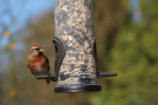 Linnet, Garden Bird, British, Uk, Red, Bird, Feeder