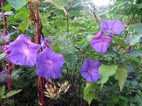 Funnel Thread, Winds, Morning Glory, Flowers, Purple