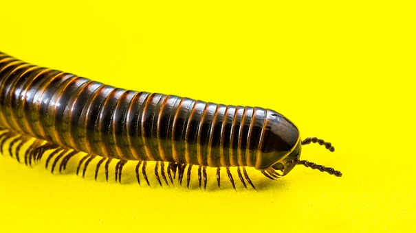 Millipedes, Arthropod, Giant Tausendfüßer