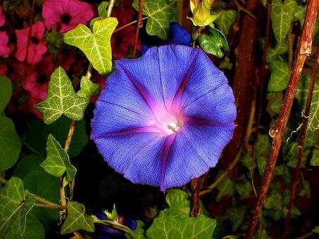 Purple Pageantry Winds, Imopea Purpurea, Climber Plant