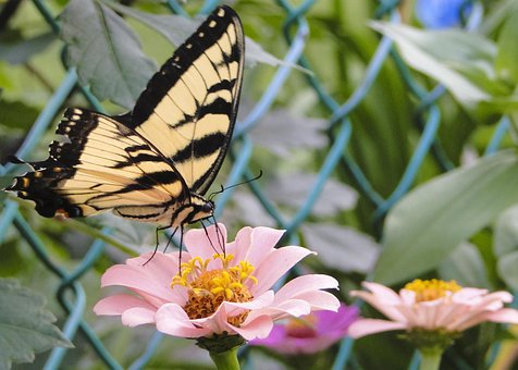 Zinna, Tiger Swallowtail, Close-up, Butterfly, Insect