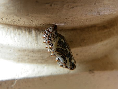 Metamorphosis, Cocoon, Butterfly, Macro