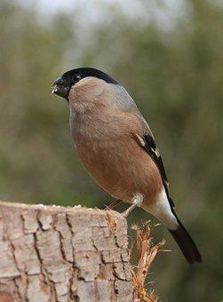 Bullfinch, Female, Bird, Nature, Finch, Spring, Avian