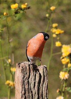 Bullfinch, Male, Bird, Nature, Red, Finch, Spring