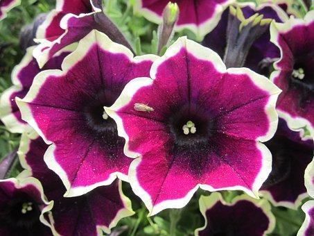Purple, Flower, Violet, Funnel, Fly, White Edge