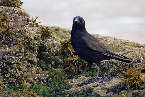 Bird, Crow, Black, Nature, Animal, Wildlife, Wild, One