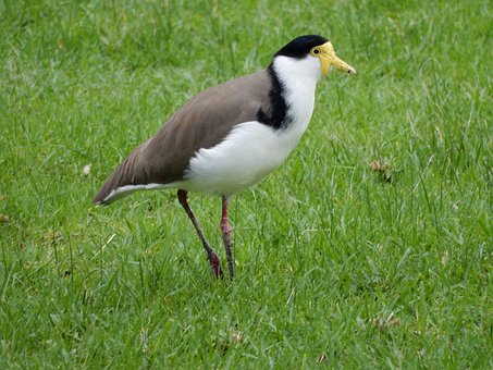 Plover, Birds, Wild Birds, Wildlife, Nature, Migratory